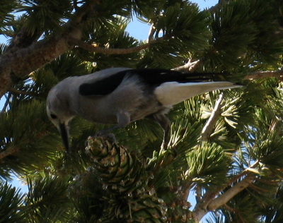 black and grey bird on liber pine cones