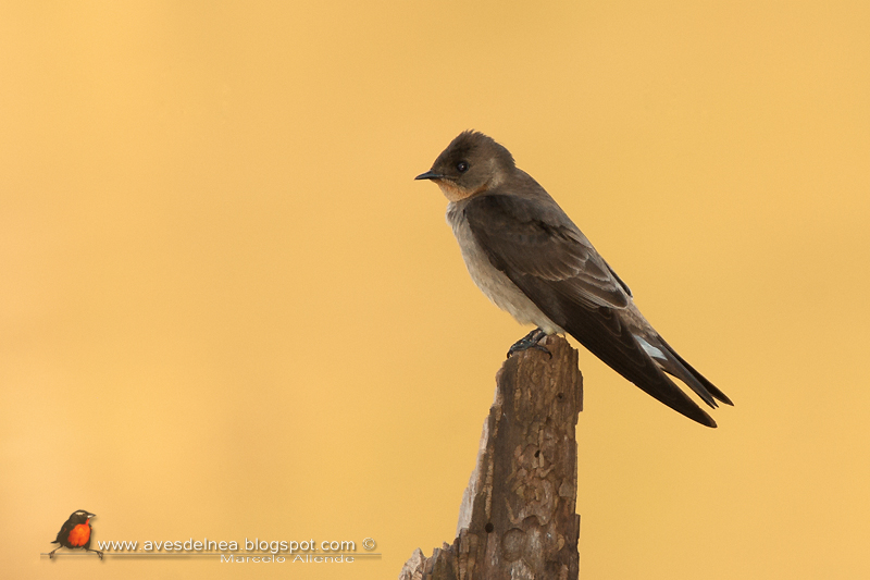 Golondrina ribereña (Southern rough-winged Swallow)