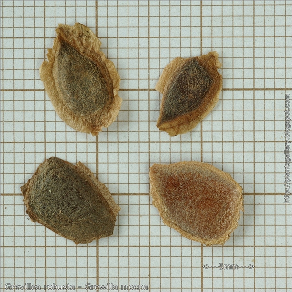 Grevillea robusta seeds - Grewilla mocna nsiona