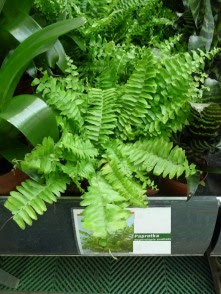 Nefrolepis cordifolia Duffi