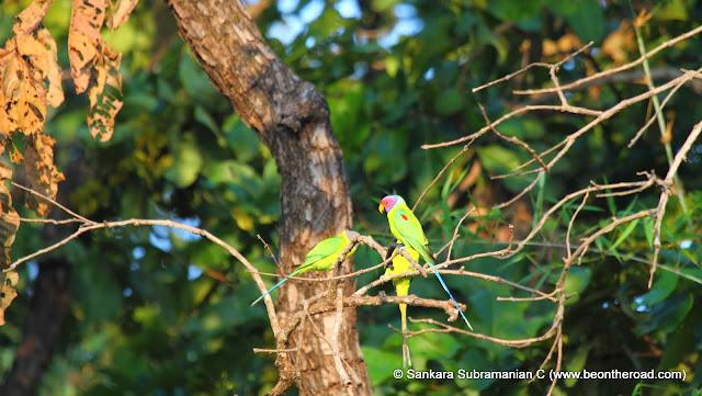 Plum headed parakeets