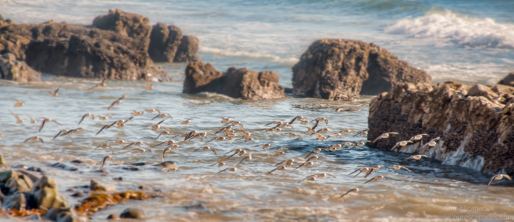 Sanderlings in fligt
