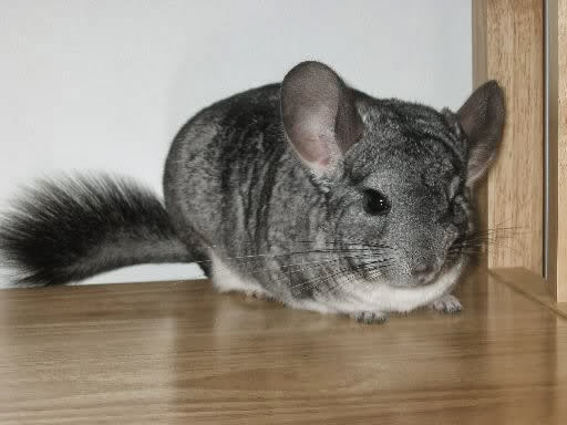 chinchilla1.0.jpg