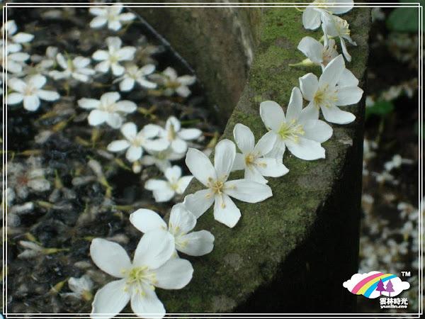 古坑-油桐花季即將開始囉!  2013/4/6 ~ 4/28