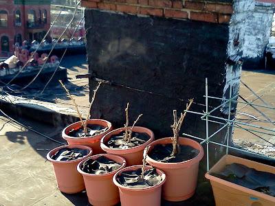 Bucolic Bushwick Rooftop Container Garden Disease