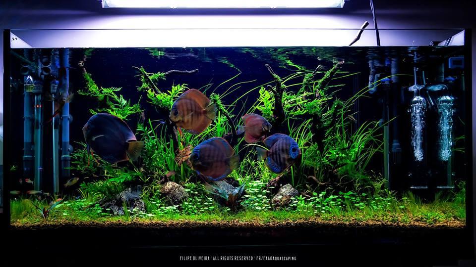 vẻ đẹp của cá dĩa trong hồ thủy sinh
