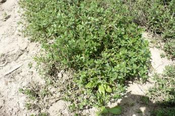 Tymianek pospolity Thymus vulgaris