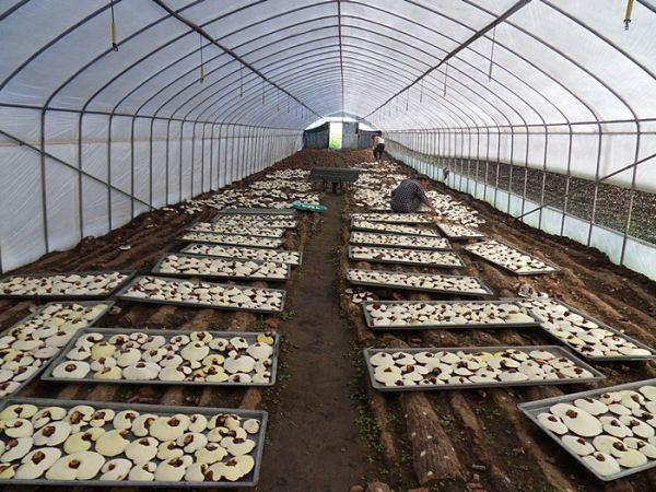 Đơn hàng nông nghiệp trồng nấm cần 18 nam thực tập sinh làm việc tại Nagano Nhật Bản tháng 03/2017