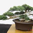 36 Premna obtusifolia.JPG