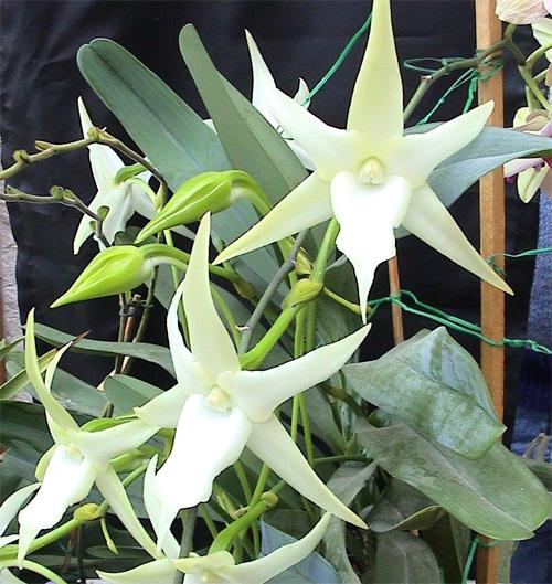 Растения из Тюмени. Краткий обзор Angraecum-sesquipedale