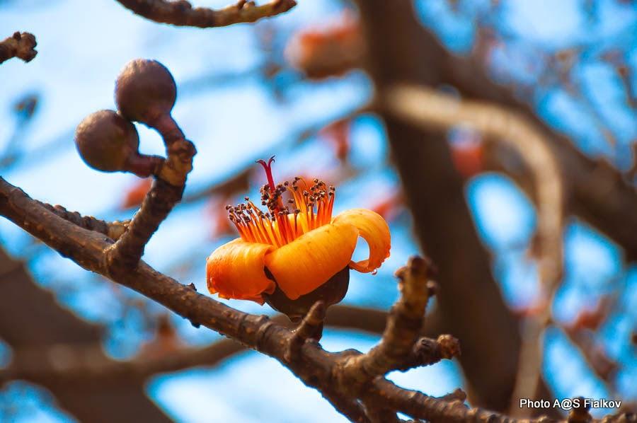 Бомбакс (Bombax). Цветы и деревья Израиля.