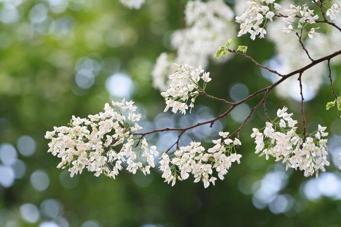 thơ hoa sưa