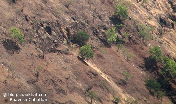 Trees pushing their limits to grow upwards holding their roots on the 45 degree slopes of the mountains of Varandha Ghat