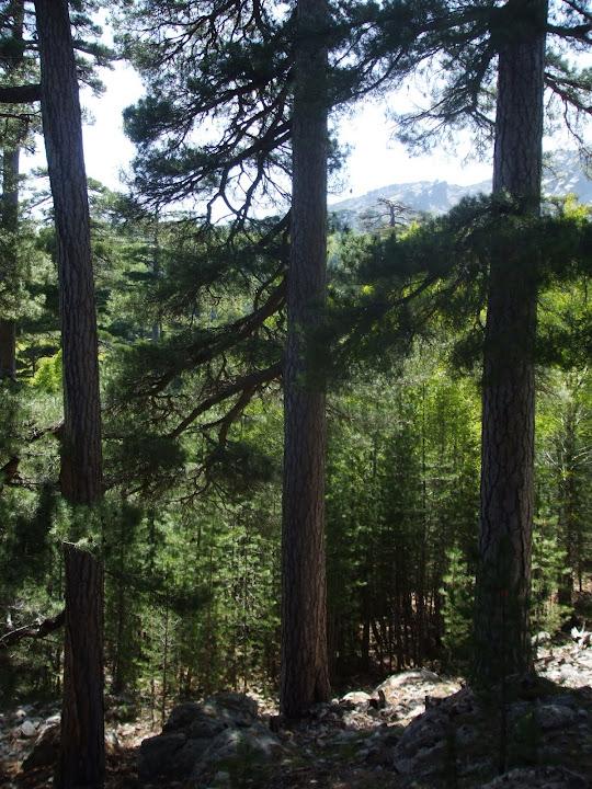 Niolo : à l'approche de Radule, forêt de géants