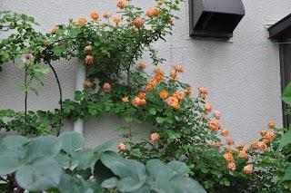 Hoa hồng leo Honey Caramel