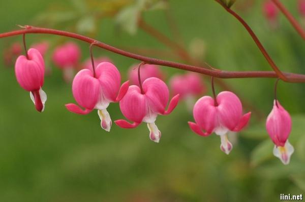 thơ tình hoa ti-gôn