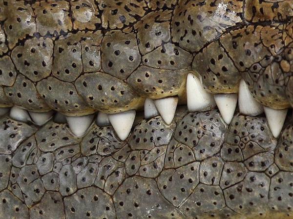 Крокодил, Серенгети