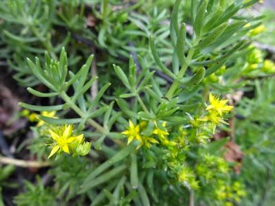 Sedum mexicanum http://sites.google.com/site/florasbs/home  São Bento do Sul - Santa Catarina