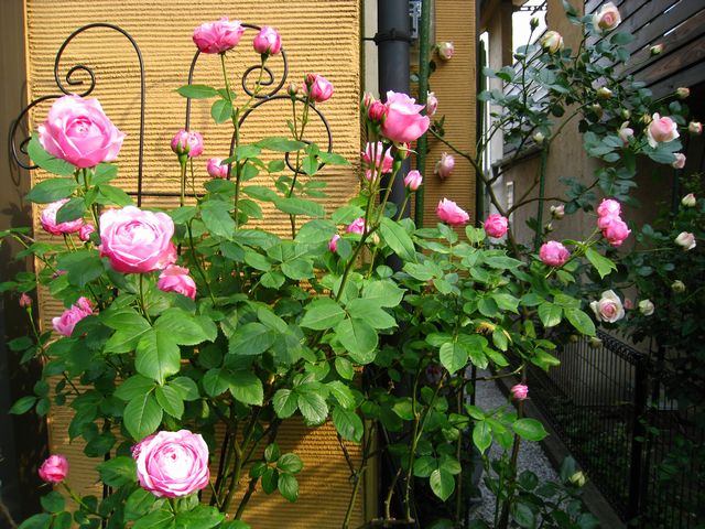 Hồng ngoại Miyako rose trồng tại Nhật Bản