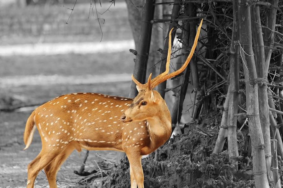 Vandalur Zoo - Chital (Spotted Deer)