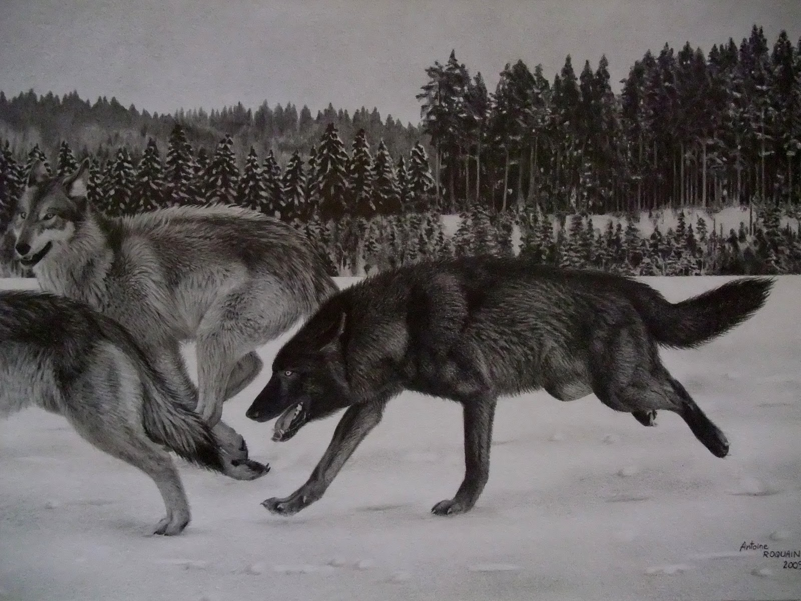 Antoine Roquain Dessin Animalier Wildlife Pencil Art Dessin De Loups