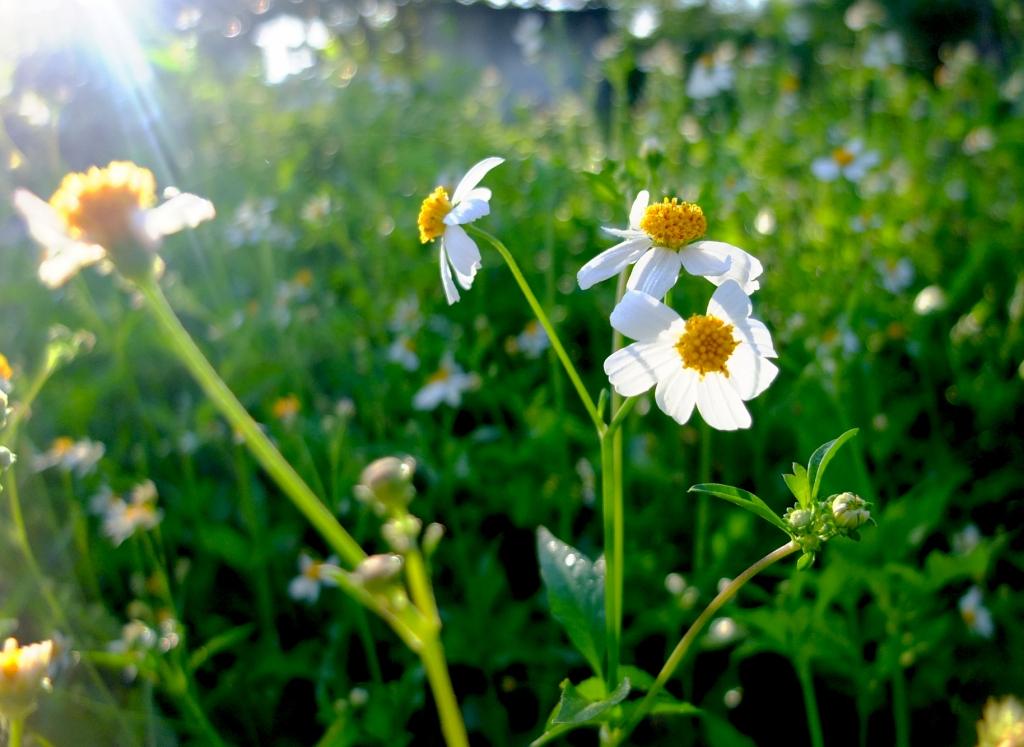 Vườn hoa xuyến chi