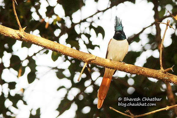 Female Asian Paradise Flycatcher perched on a branch
