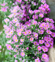 Cây hoa thạch thảo