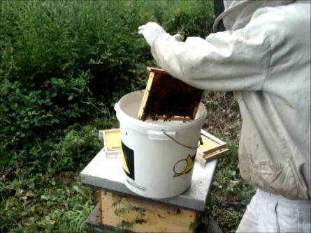 Brosser les abeilles dans un seau