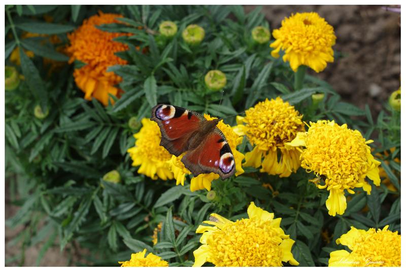 Papillon au 35mm SEBY4716