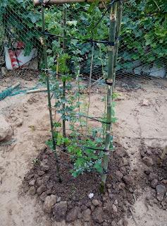 Cây hồng leo sau khi đã thay  đất