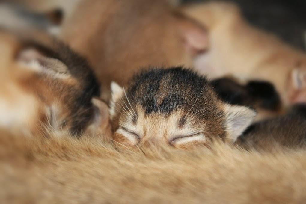 abyssinian kitten cattery Shafran