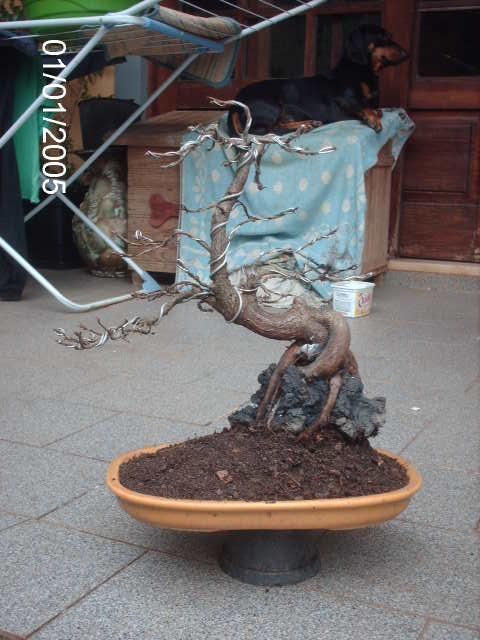 Ficus Nerifolia, Uma raiz de 3 anos... PICT1068