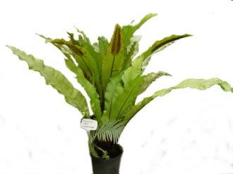 Zanokcica gniazdowa - Asplenium nidus