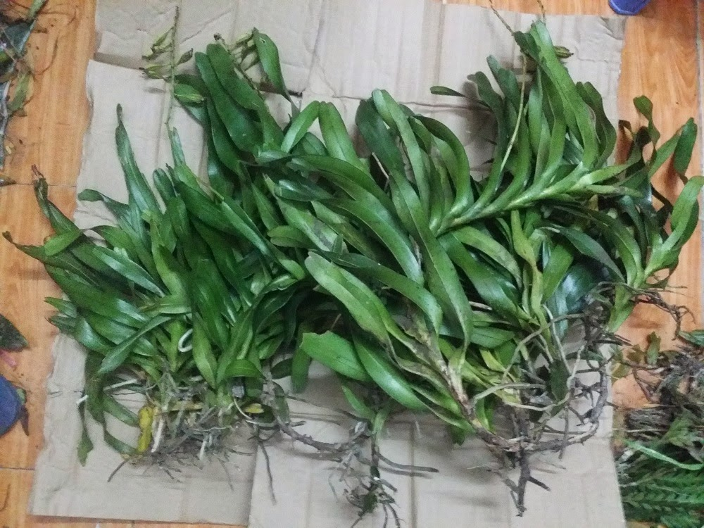 Đây là loại phong lan thích hợp ghép gỗ hơn trồng chậu, nhìn ghép gỗ cũng đẹp hơn