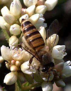 Apis cerana η μέλισσα της ανατολής