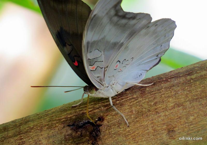 Butterfly drinking tree sap