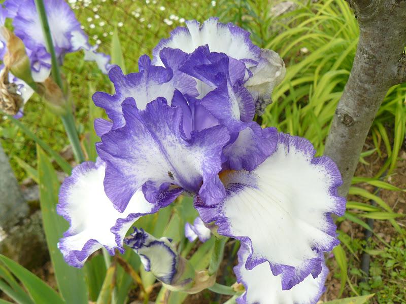 Des floraisons au jardin ... - Page 2 P1030405
