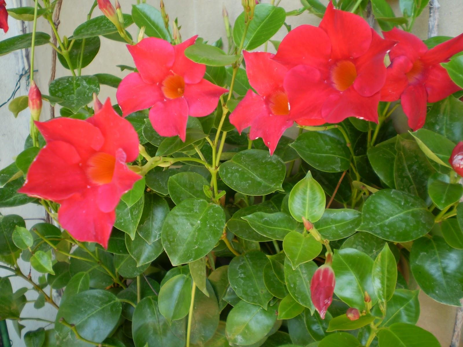El jardinero urbano dipladenia splendes y pandorea - Plantas tropicales de exterior ...