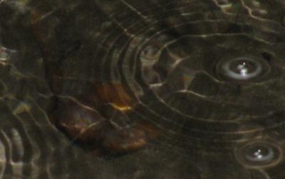 underwater California newt