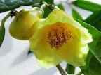 黄色 八重 ラッパ咲き 小輪
