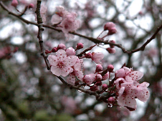 cherry blossom nature photograph