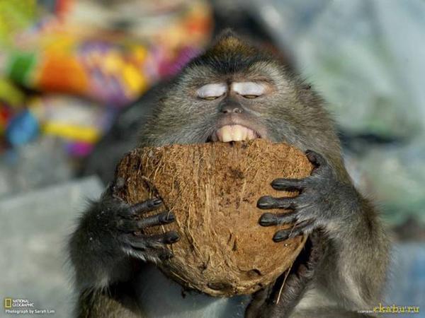 Длиннохвостая макака грызет скорлупу кокосового ореха, Малайзия