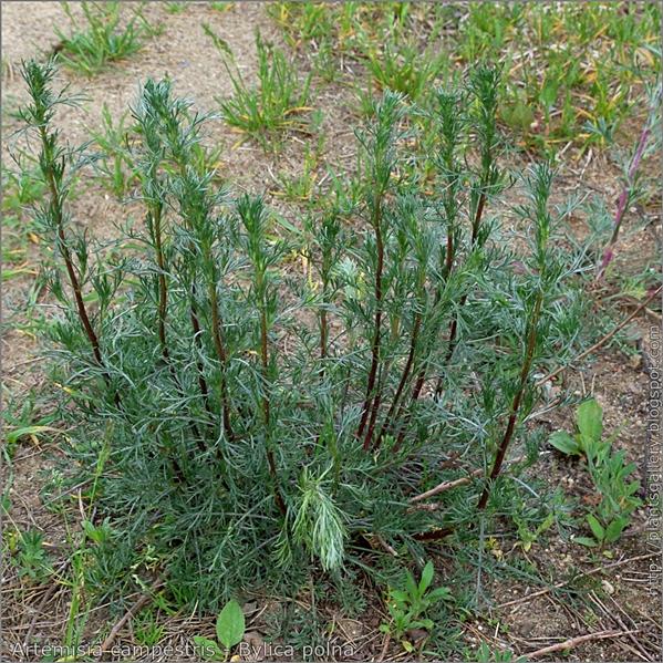 Artemisia campestris - Bylica polna pokrój młodej rośliny