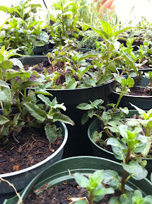 herbal seedlings