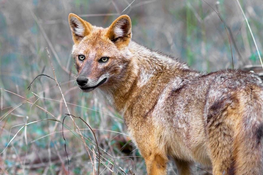 Αποτέλεσμα εικόνας για Τσακάλι (Canis aureus)