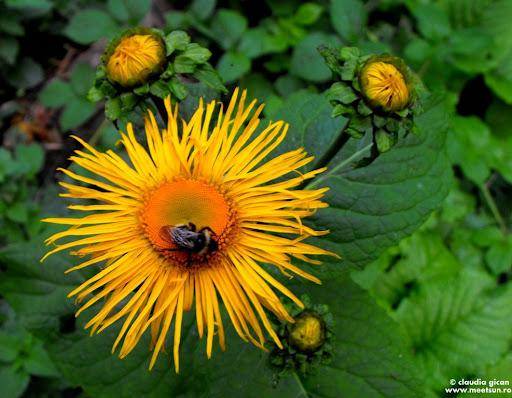 flori galbene de munte - Lăptucul-Oii