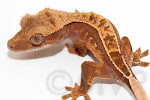 Jibber - Pinstripe crested gecko from moonvalleyreptiles.com