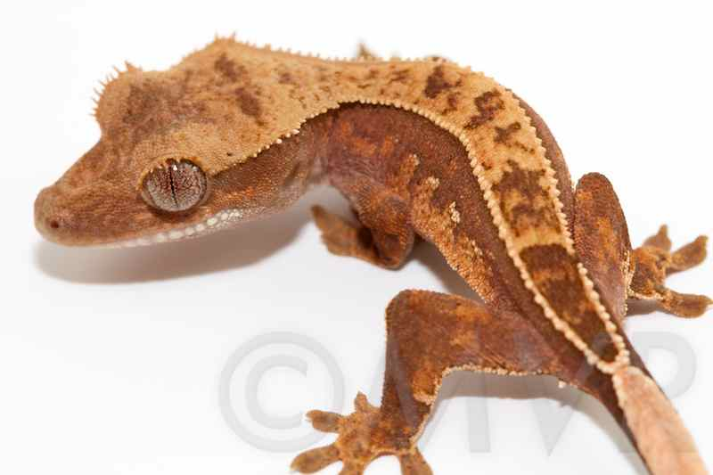 Crested Gecko Morph Guide Colors Morphs And Traits