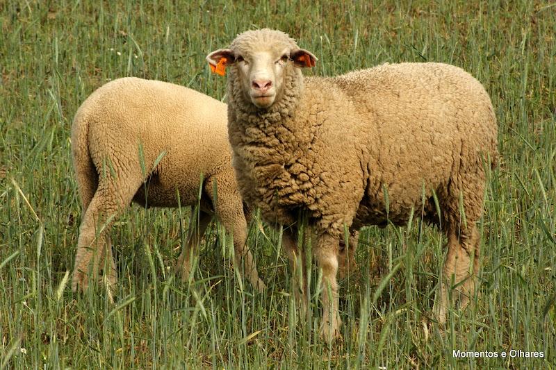 Alentejo, Ovelhas